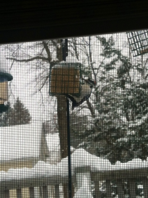 Downy Woodpecker, going to town